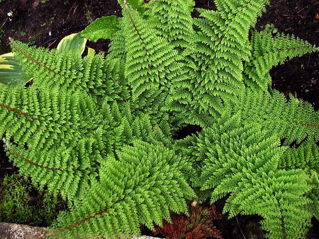 Garden Plant Of The Month Polystichum Setiferum