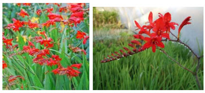 GARDEN PLANT OF THE MONTH- CROCOSMIA 'LUCIFER'